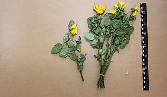 Rose-raner pågrepet etter DNA-match
